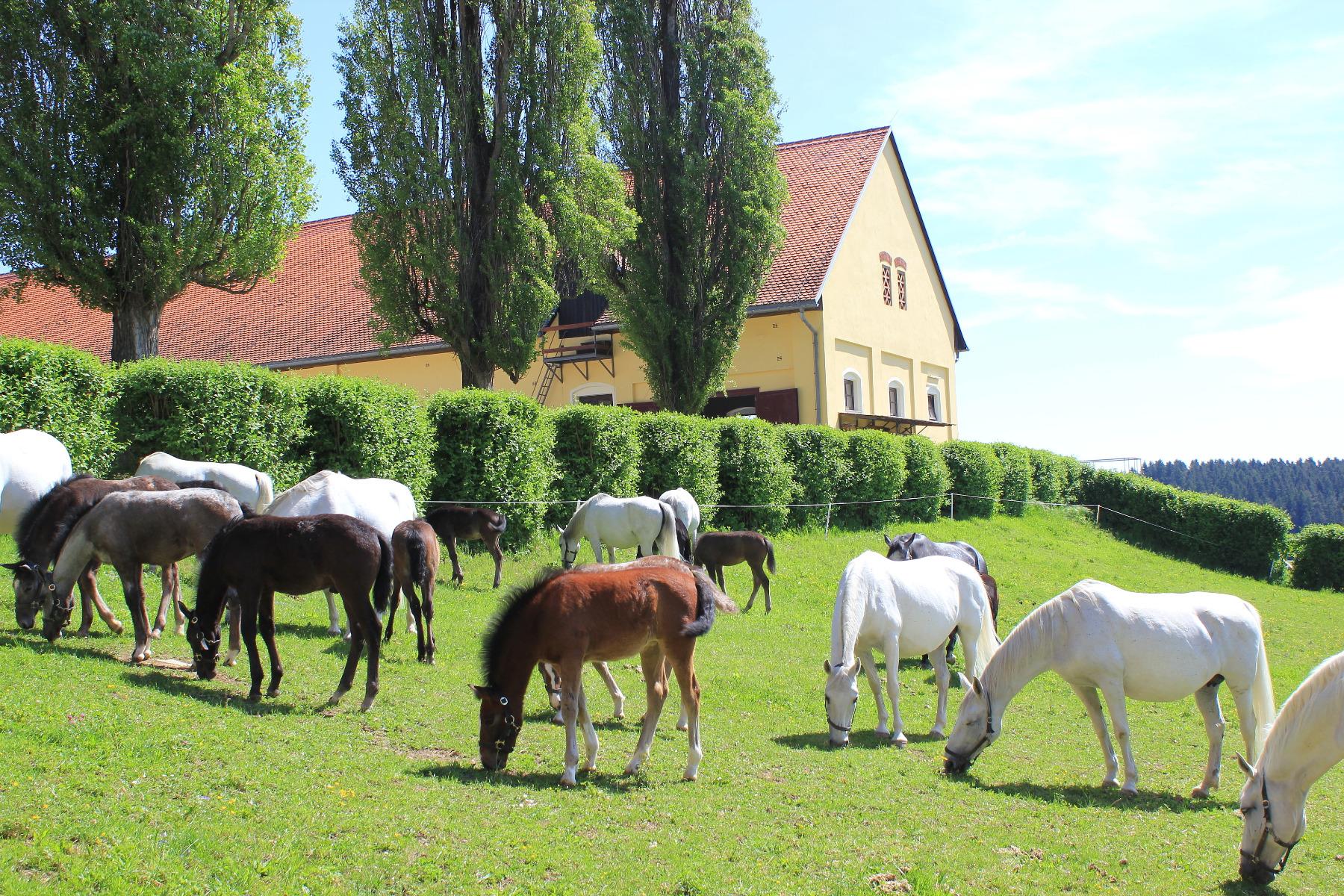 Stübben, Sattel, Sättel, Pferd, reiten, Reiter, Lippizaner, Hofreitschule Wien, Lippizanergestüt Piber, Fohlen, Hengst, Stute, Muttertag