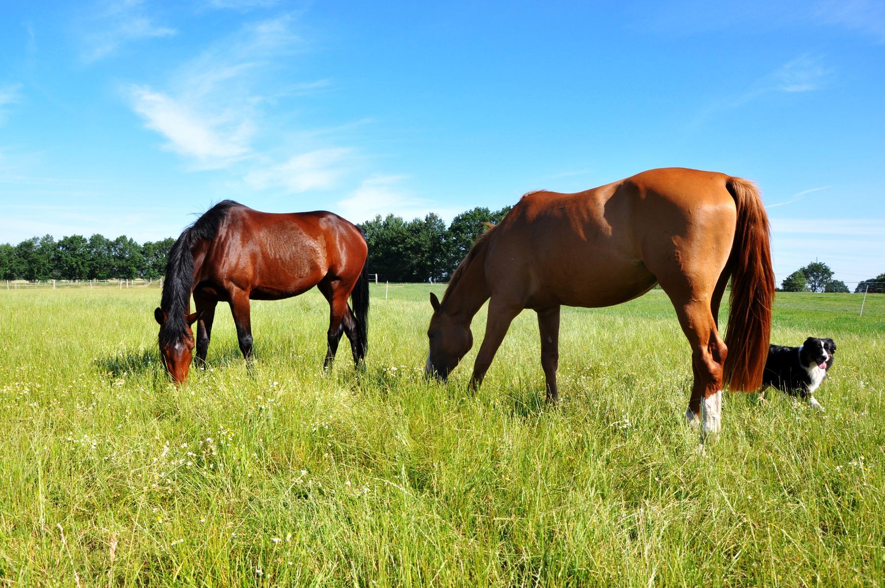 Stübben, Pferd, Pferde, Reiter, reiten, Sattel, Hund, Hunde, Reitbegleithunde
